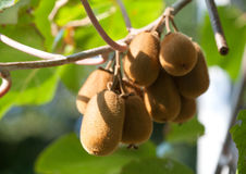 Ripe fruits of kiwi on the branch in a sunny day, close-up Royalty Free Stock Images