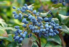 Ripe fruits of Mahonia. Purple ripe fruits at the mahonia plant in august royalty free stock image