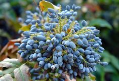 Ripe fruits of Mahonia. Purple ripe fruits at the mahonia plant in august royalty free stock photography