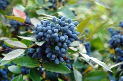 Ripe fruits of Mahonia. Purple ripe fruits at the mahonia plant in august royalty free stock photos