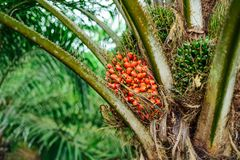 Ripe Fruits Of Oil Palm Tree, Fully Matured, Ripened Stock Images