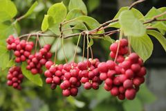 Ripe Fruits Of Red Schizandra With Green Leaves Stock Photo