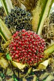 Ripe fruits of oil palm tree, fully matured, ripened royalty free stock photo