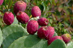Ripe fruits of prickly pear Royalty Free Stock Images