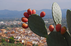Ripe fruits of prickly pears - Indian fig opuntia (O. ficus-indica). Spain Royalty Free Stock Photo