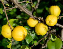Ripe fruits of a quince Japanese (Chaenomeles japonica (Thunb.), , close up Stock Photos