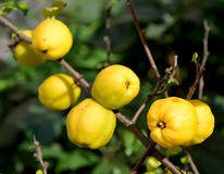Ripe fruits of a quince Japanese (Chaenomeles japonica (Thunb.) Lindl. ex Spach) on a branch Royalty Free Stock Photography