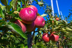Ripe fruits of red apples on the branches of young apple trees. A sunny autumn day in farmer& x27;s orchards stock photo