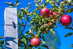 Ripe fruits of red apples on the branches of young apple trees. A sunny autumn day in farmer& x27;s orchards stock photography