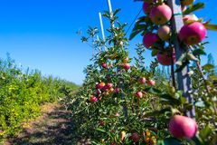 Ripe fruits of red apples on the branches of young apple trees. Ripe ts of red apples on the branches of young apple trees. A sunny autumn day in farmer& x27;s royalty free stock photos