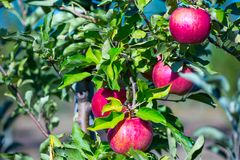 Ripe fruits of red apples on the branches of young apple trees. Ripe ts of red apples on the branches of young apple trees. A sunny autumn day in farmer& x27;s royalty free stock photography