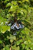 Ripe fruits of a trailing mahonia Mahonia aquifolium Pursh Nu Royalty Free Stock Photography