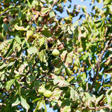 Ripe fruits of walnut on tree Royalty Free Stock Images