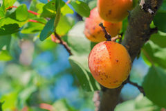 Ripe fruits on a wild apricot tree Royalty Free Stock Image