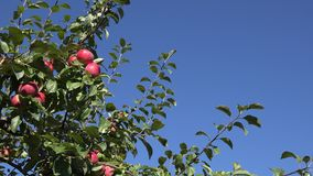 Ripe fruity apples hanging at tree twig move in wind on blue sky background. 4K. Ripe fruity apples hanging at tree twig move in wind on blue sky background stock video footage