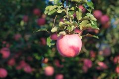 Fuji apple. The ripe Fuji apple is on the branch Royalty Free Stock Photos