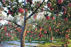 Fuji apple. The ripe Fuji apples are on the tree Stock Photo