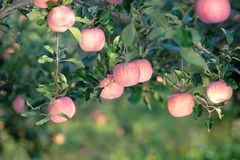 Fuji apple. The ripe Fuji apples are on the tree Royalty Free Stock Photography