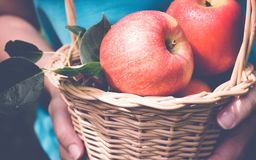 Ripe garden apples in a basket in female hands closeup. Selectiv. E focus, toned Stock Photo