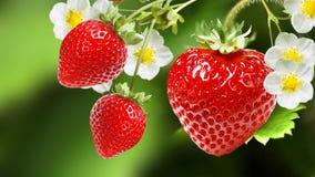 Ripe Garden Fresh Tasty Strawberries Stock Photo