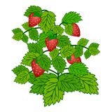 Ripe garden strawberry bush  isolated on white background. Vector illustration Royalty Free Stock Image