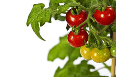 Ripe garden tomatoes Royalty Free Stock Images