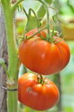 Ripe garden tomatoes Stock Image