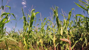 Ripe Giant Corn Field stock footage