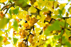 Ripe Ginkgo Fruit Ginkgoaceae Ginkgophyta Ginkgo Biloba Maidenhair tree. Ripening yellow Ginkgo fruit amid yellow and green autumn leaves. The Ginkgo tree is Stock Images