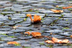 Ripe gold brown colored maple leaf, leaves on the ground, natural paving stones.  royalty free stock photo