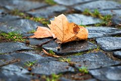 Ripe gold brown colored maple leaf, leaves on the ground, natural paving stones.  stock image