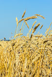 Ripe gold ears of wheat in a field Royalty Free Stock Image