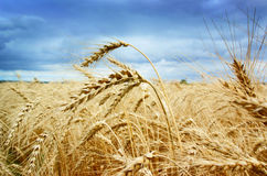 Ripe gold wheat field Royalty Free Stock Photos