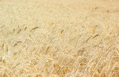 Ripe gold wheat field Stock Photography