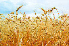 Ripe gold wheat field royalty free stock photography