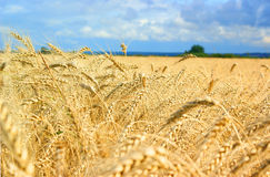 Ripe gold wheat field Stock Image