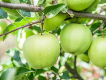 Ripe Golden Delicious apples on the tree. Royalty Free Stock Image