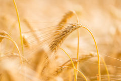 Ripe golden ear of wheat Royalty Free Stock Photography