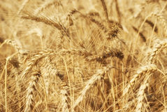 Ripe golden ears of wheat grain in the fields of the Saratov region. Agriculture Stock Photo