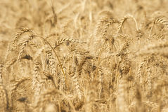 Ripe golden ears of wheat grain in the fields of the Saratov region. Agriculture Stock Photography