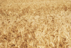 Ripe golden ears of wheat grain in the fields of the Saratov region. Agriculture Royalty Free Stock Photos