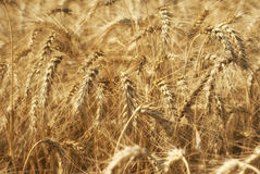 Ripe golden ears of wheat grain in the fields of the Saratov region. Agriculture Royalty Free Stock Photo