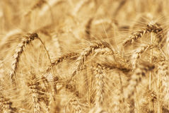 Ripe golden ears of wheat grain in the fields of the Saratov region. Agriculture Stock Images