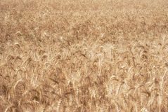 Ripe golden ears of wheat grain in the fields of the Saratov region. Agriculture Royalty Free Stock Photography