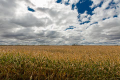 Ripe golden field of Zea mays or corn Stock Images