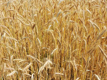 Ripe Golden rye. Field of ripe Golden rye. Natural background stock images
