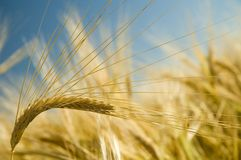 Ripe golden wheat 2 Stock Photography