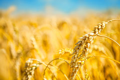 Ripe golden wheat Royalty Free Stock Photo