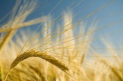 Ripe golden wheat 3 Royalty Free Stock Photo