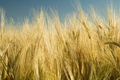 Ripe golden wheat 4. Ripe golden wheat or barley field Stock Photo